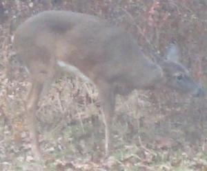 Deer4s