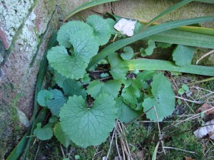 Garlic Mustard - Back Planter