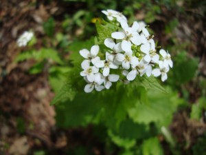 Garlic Mustard Blooming 1
