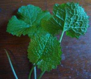Garlic Mustard Leaves 1st Year Oct
