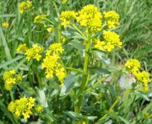 Brassica 2
