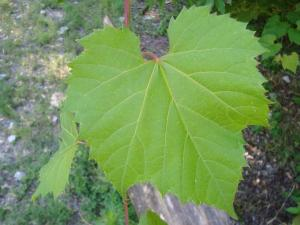 Grape Escaped Cultivar Leaf