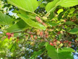 White Mulberry 2